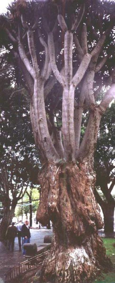 The Dragon Tree of the Canary Islands - a plant survivor from prehistoric times