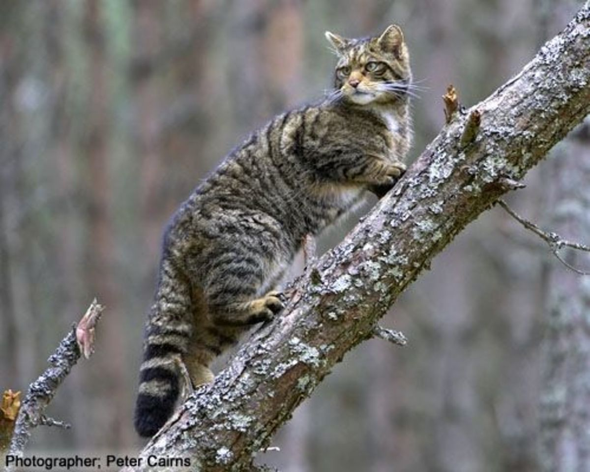 Scottish Wildcat, Endangered Species