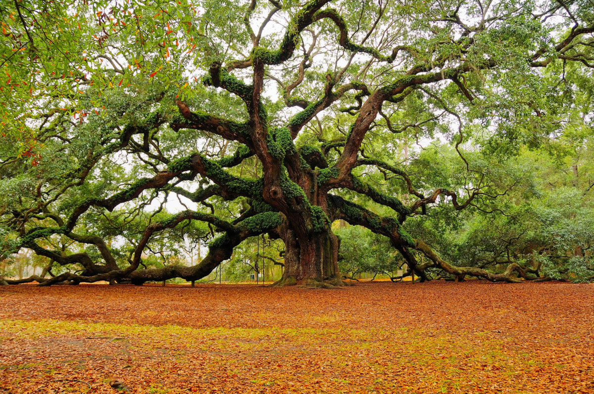 Angel Oak located on St Johns Island in Charleston SC is over 1400 years old.
