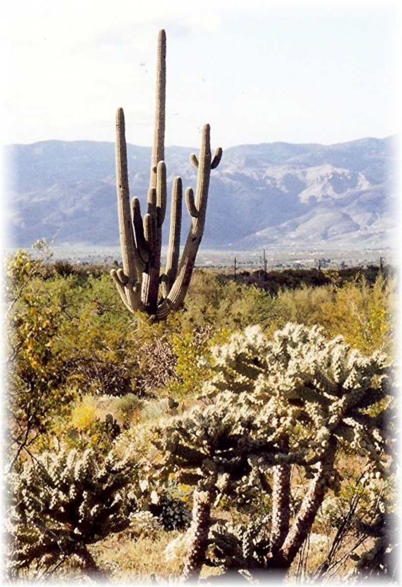 Tall multi-branched saguaro with teddy bear cholla cacti in the foreground in Saguaro National Park