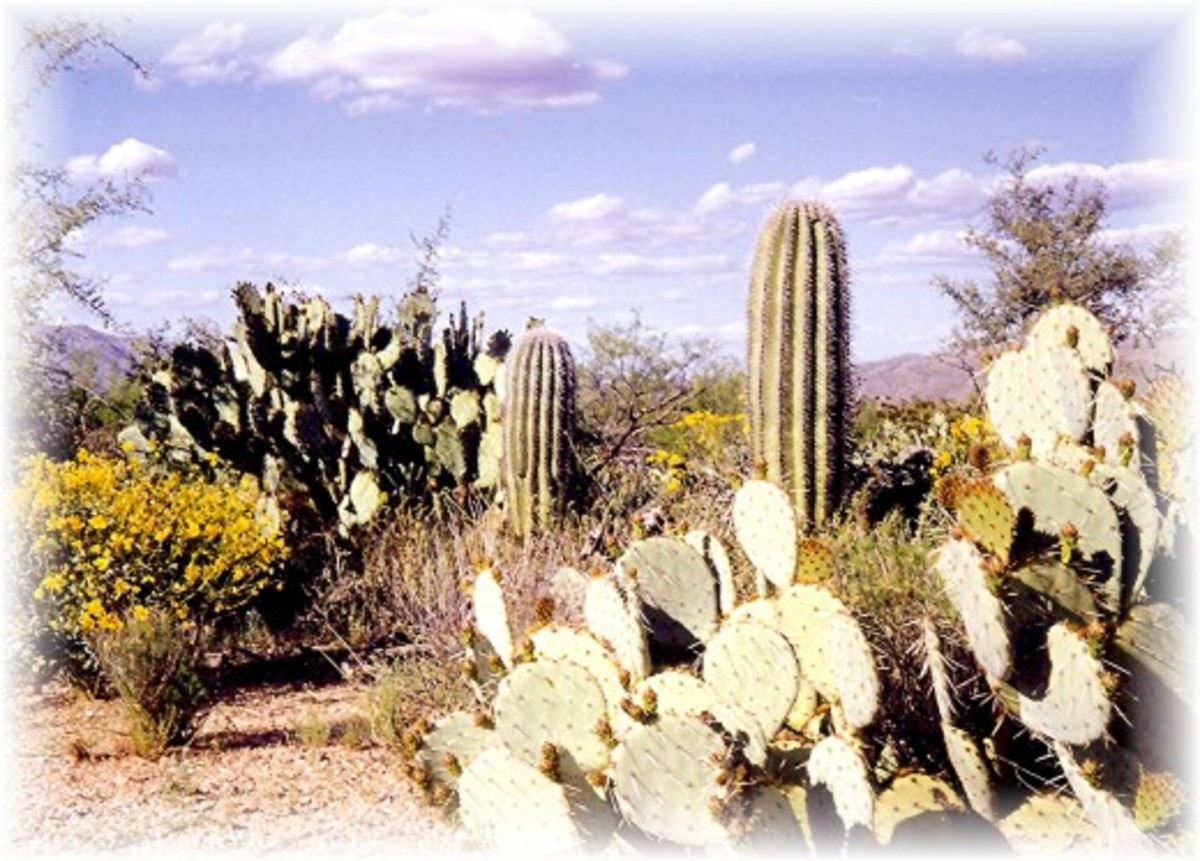 Many different forms of cactus in addition to the saguaros in the Saguaro National Park