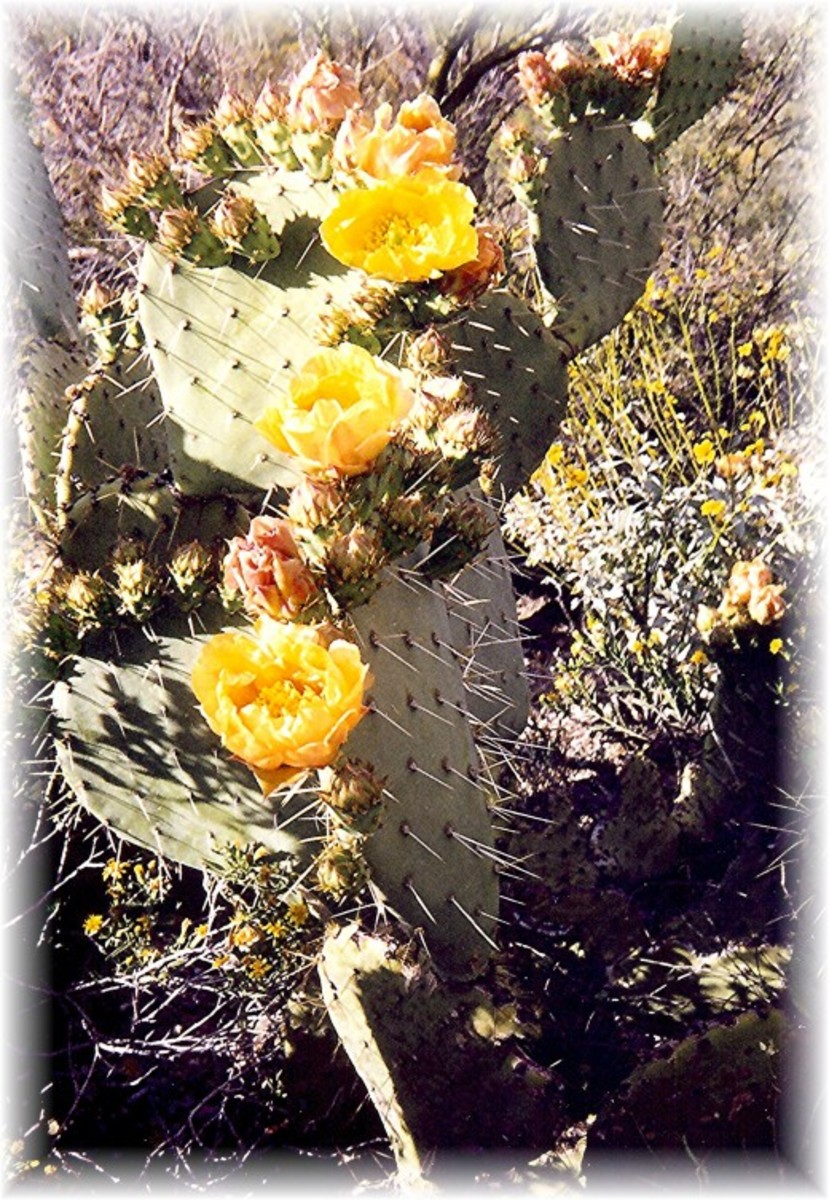 Prickly Pear cactus in bloom in the Saguaro National Park