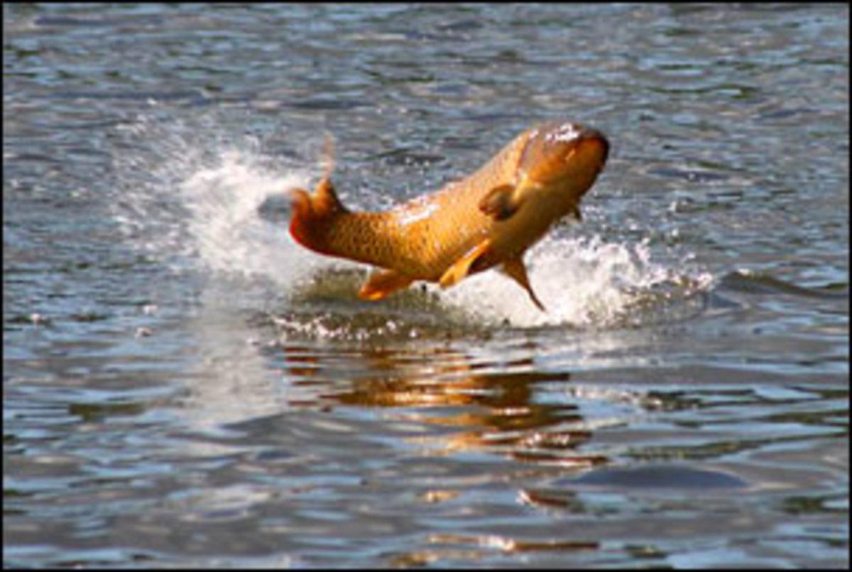 Big Carp Hooked And Jumping