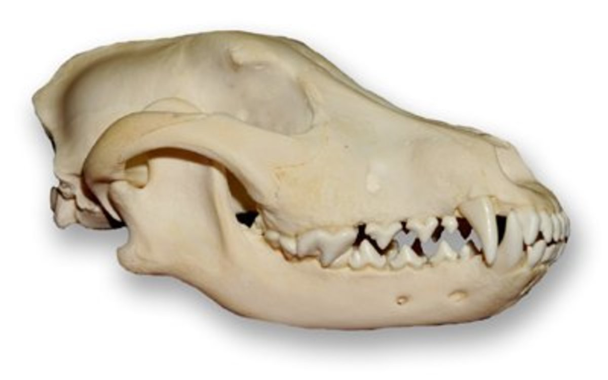 Labrador Retriever Skull