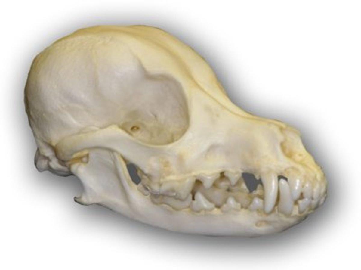 Poodle Skull