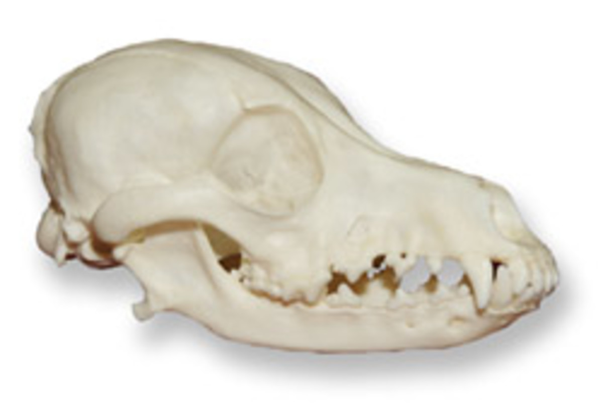 Dachshund Skull