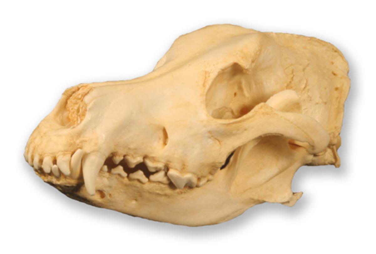 German Shepherd Skull