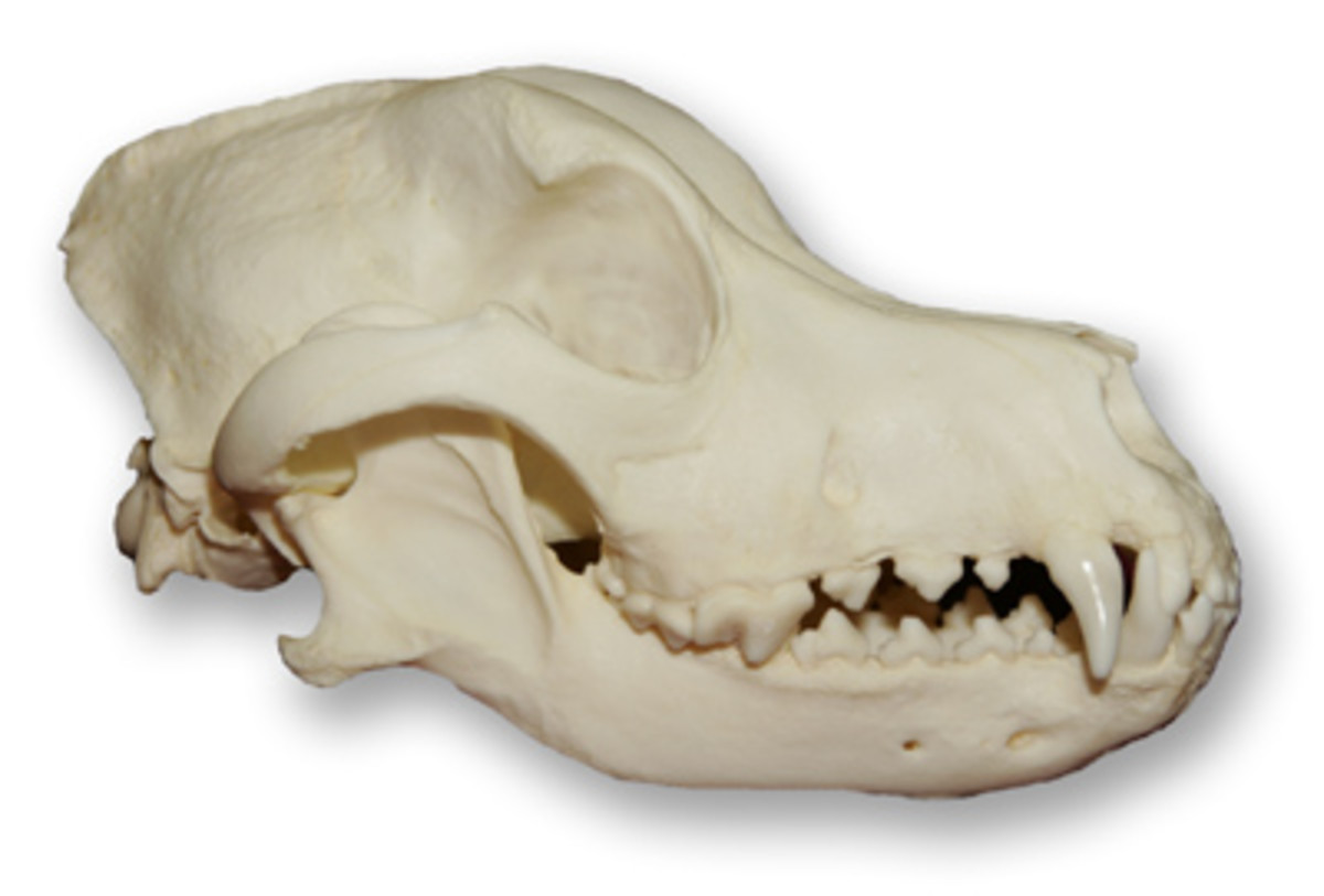 Australian Shepherd Skull