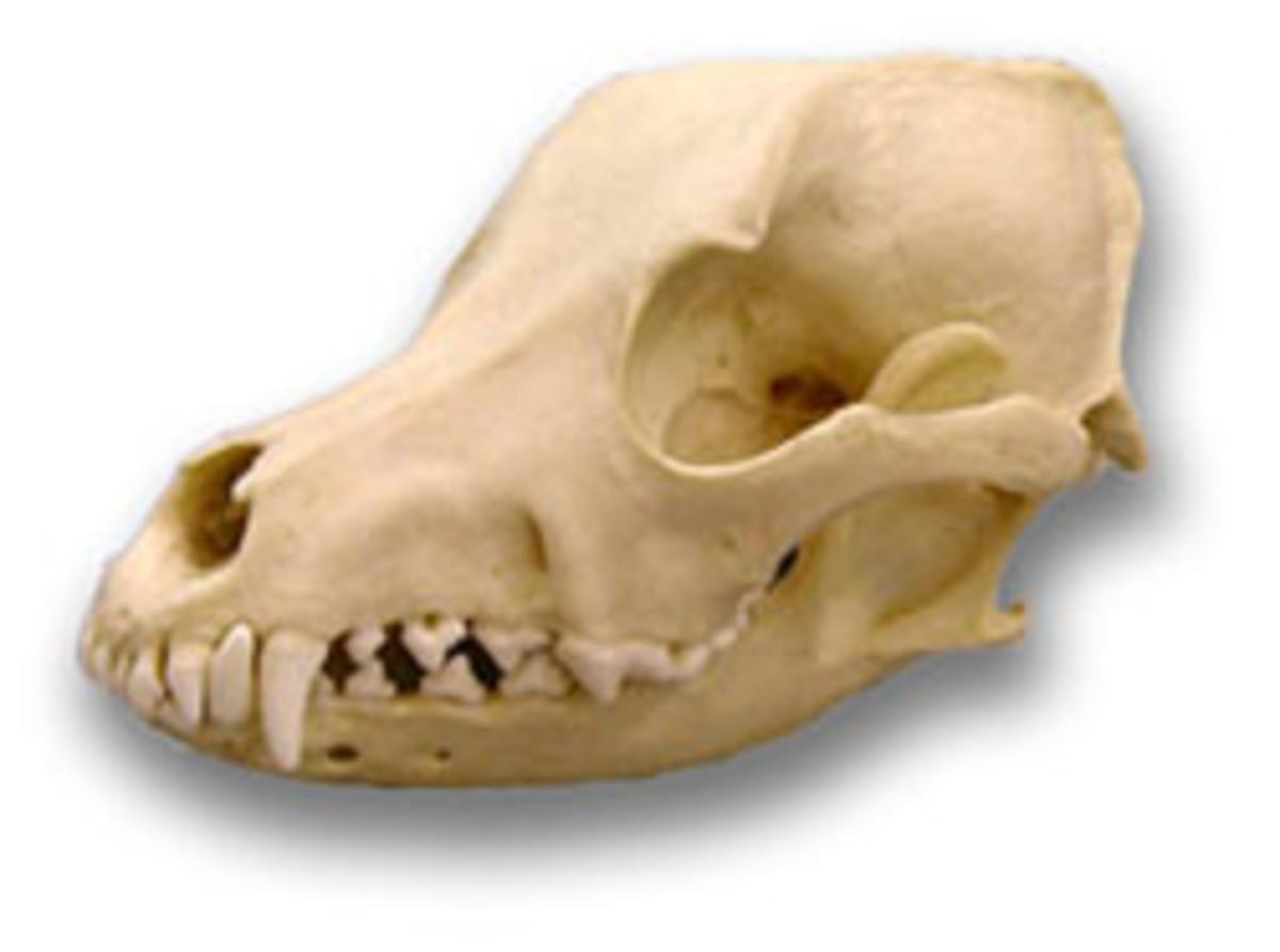 Airedale Terrier Skull