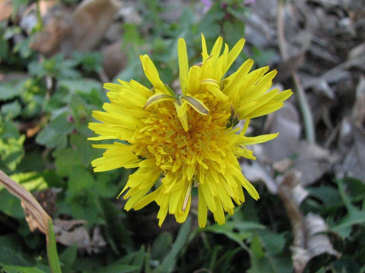 Stalking the Wild Greens: Dandelion, Chickweed and Violet Recipes and Benefits
