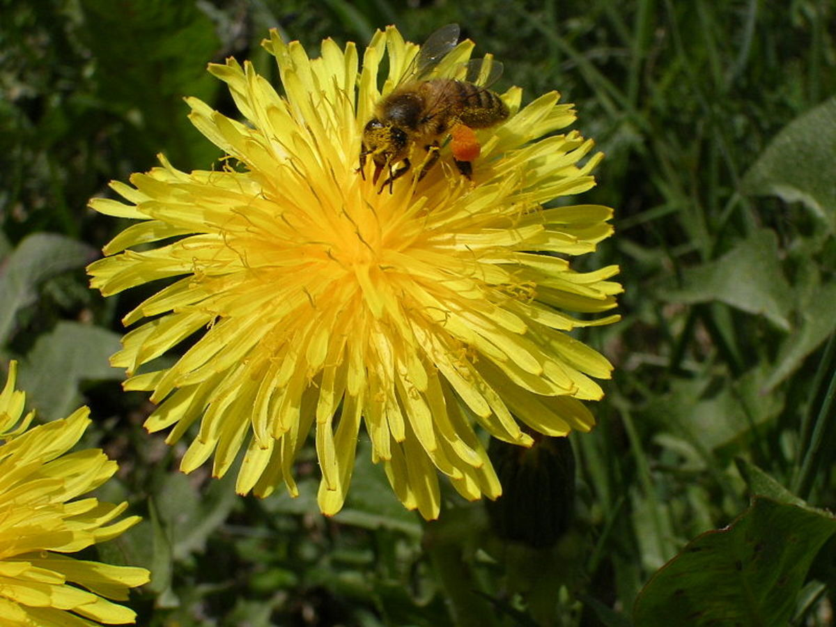 Dandelions are one of the best pollinator plants. Look at all the pollen on the hind legs of this honeybee.