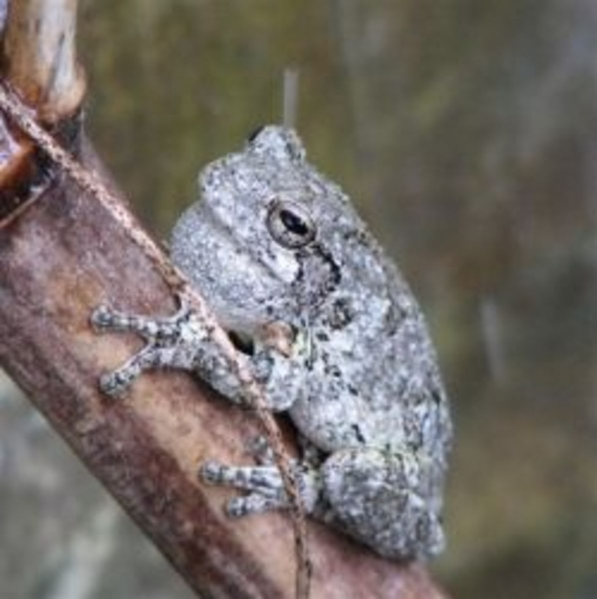 Gray Treefrog in Louisiana