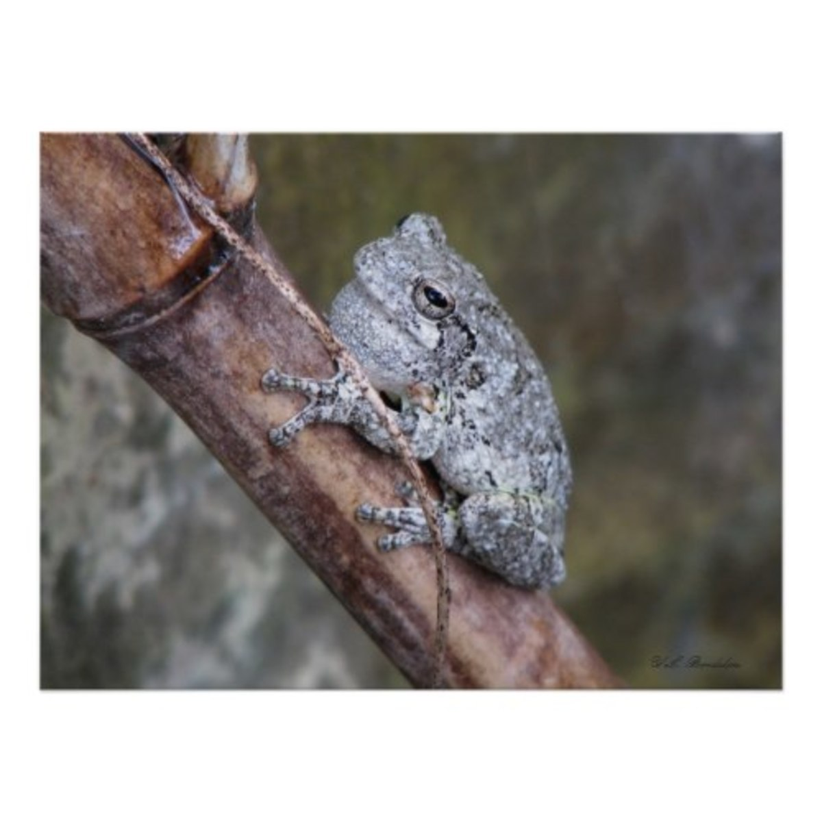 A male gray tree frog sings from a rain barrel to attract a female.