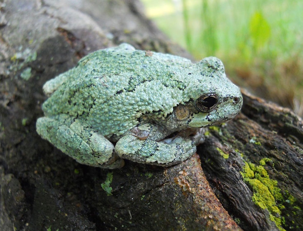 Some gray tree frogs have light green coloration. The normal pattern can be seen on the back.