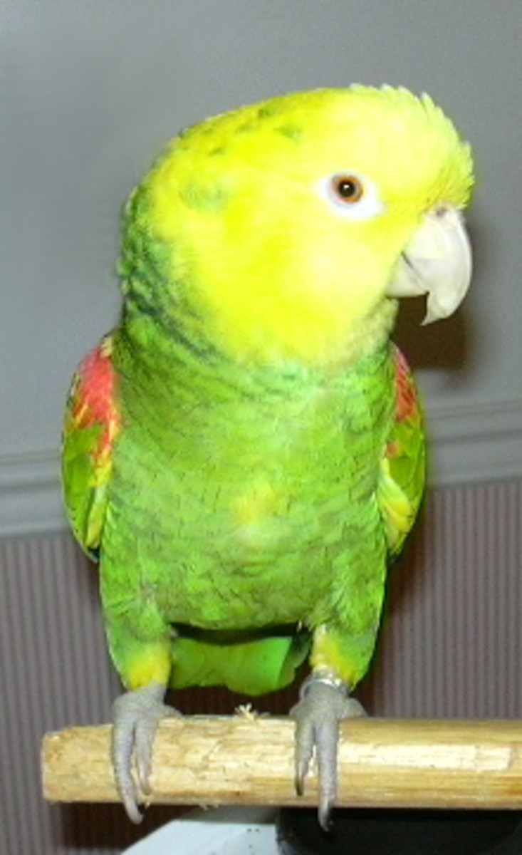 Double Yellow Headed Amazon Parrot.  Parrots are part of the family.