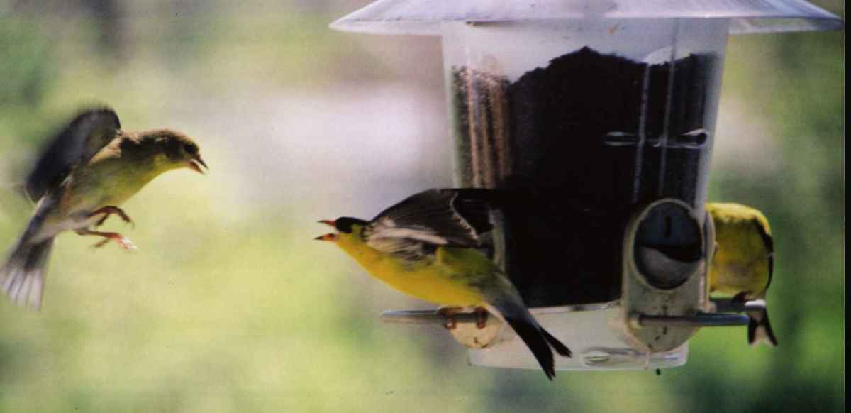 American goldfinches at bird feeder