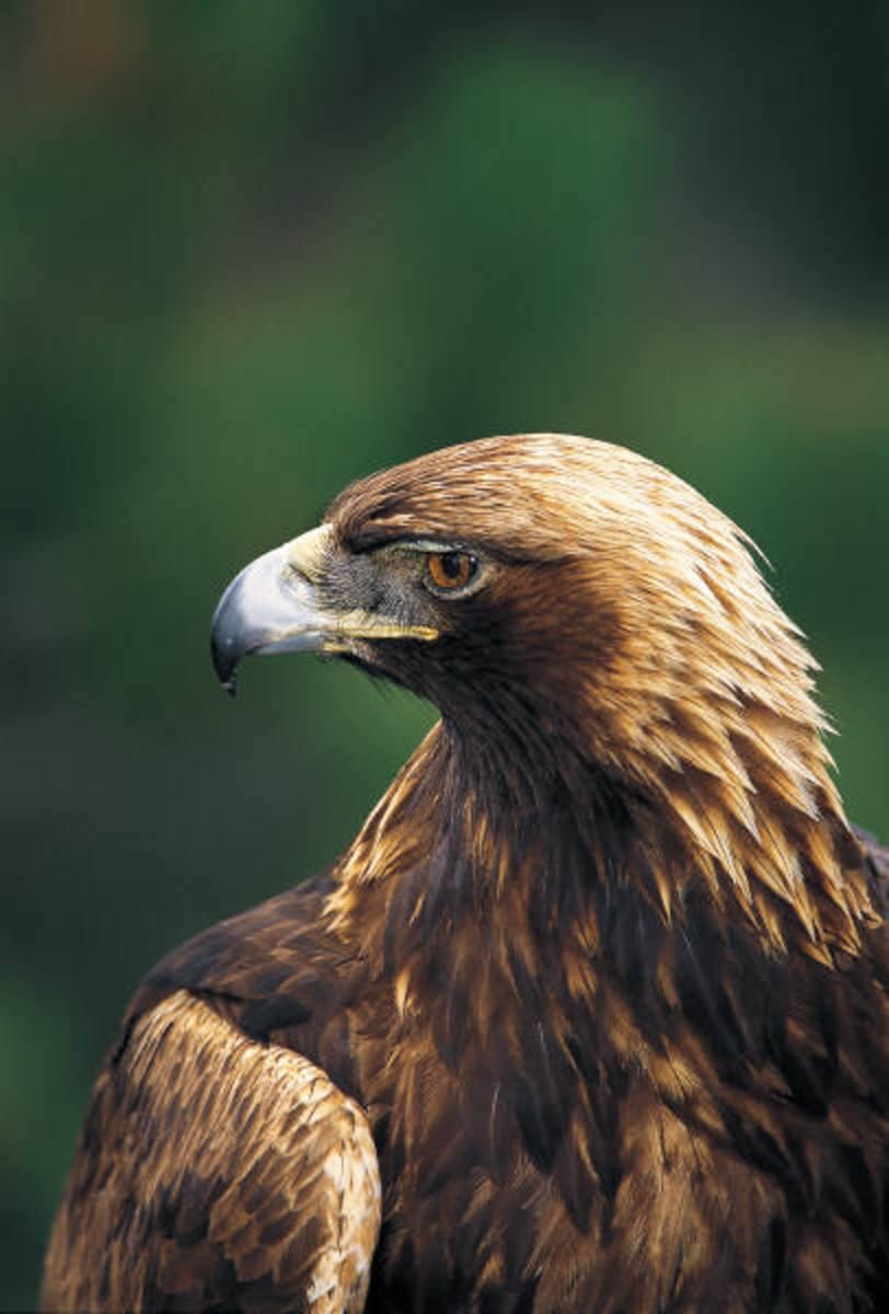 eagle-facts