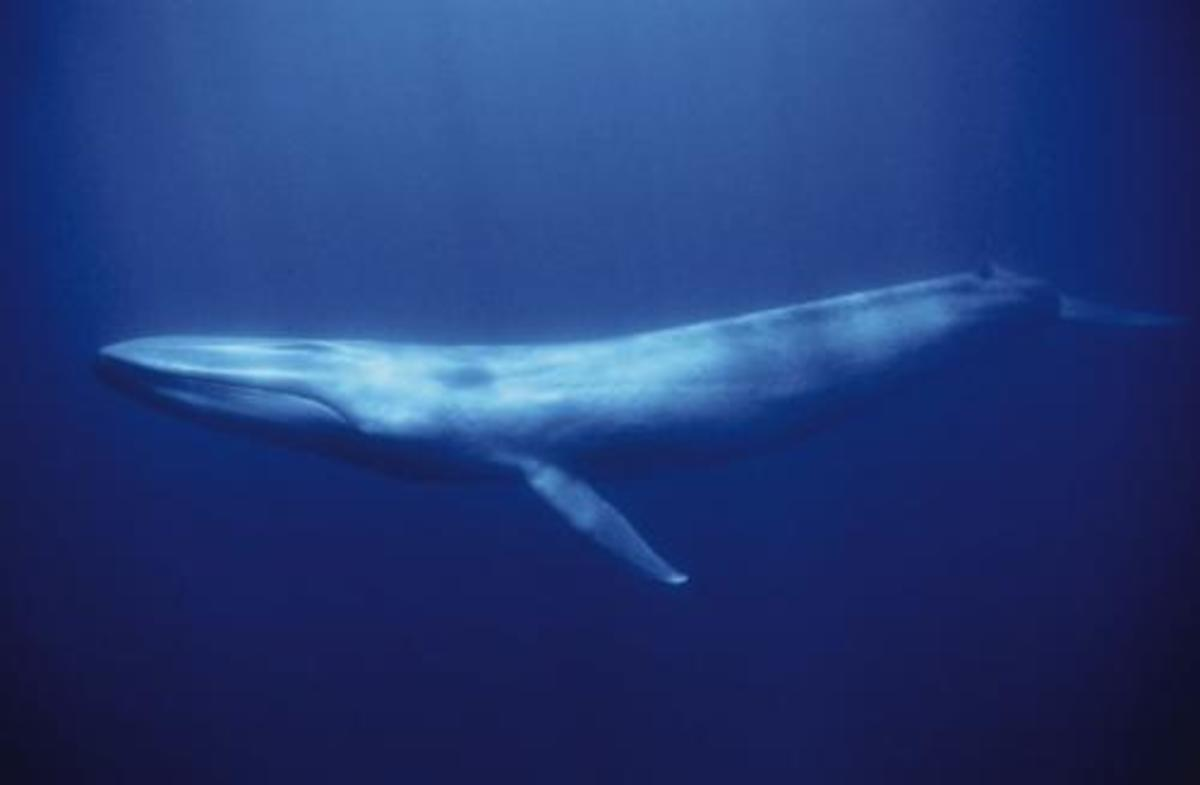 http://myanimalblog.files.wordpress.com/2008/02/blue_whale.jpg