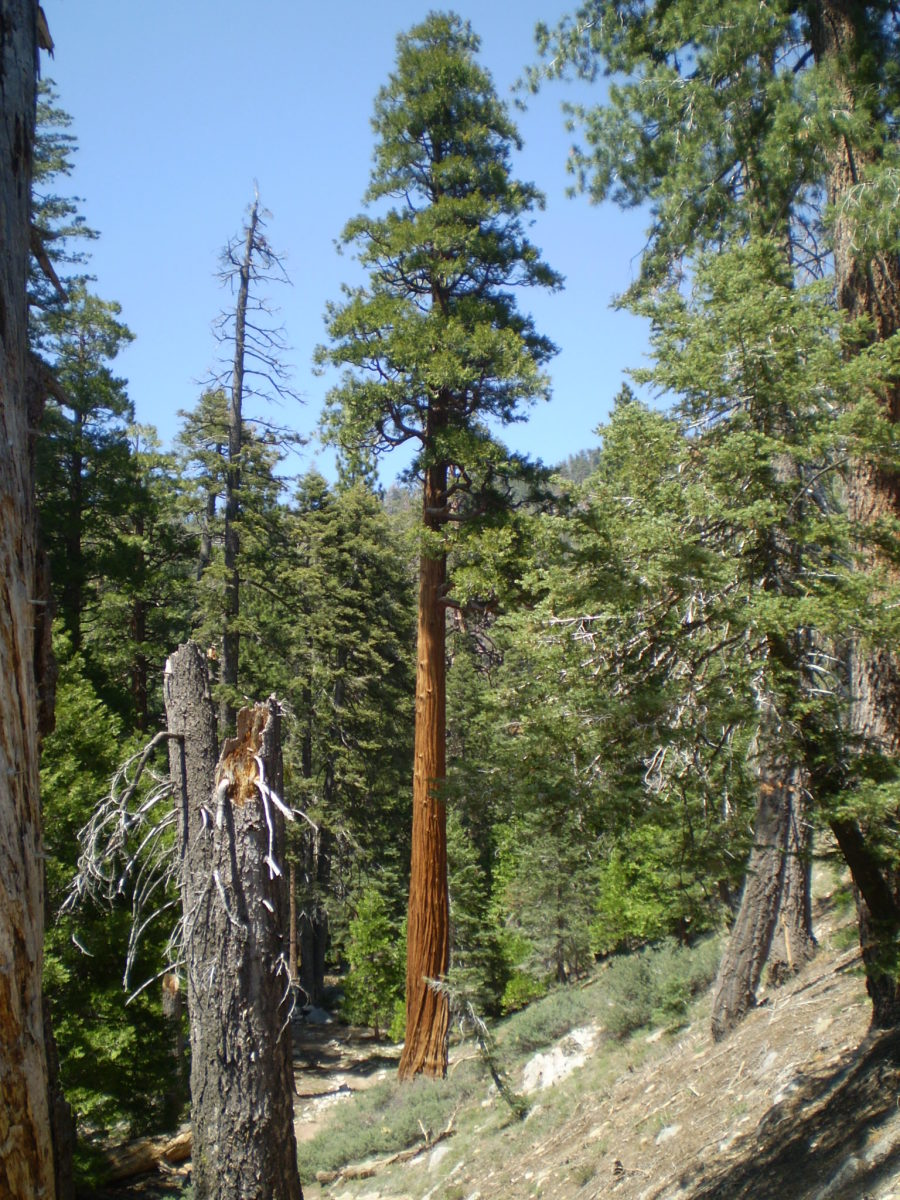 Mega trees like this pine are common along the lower Vivian Creek Trail.