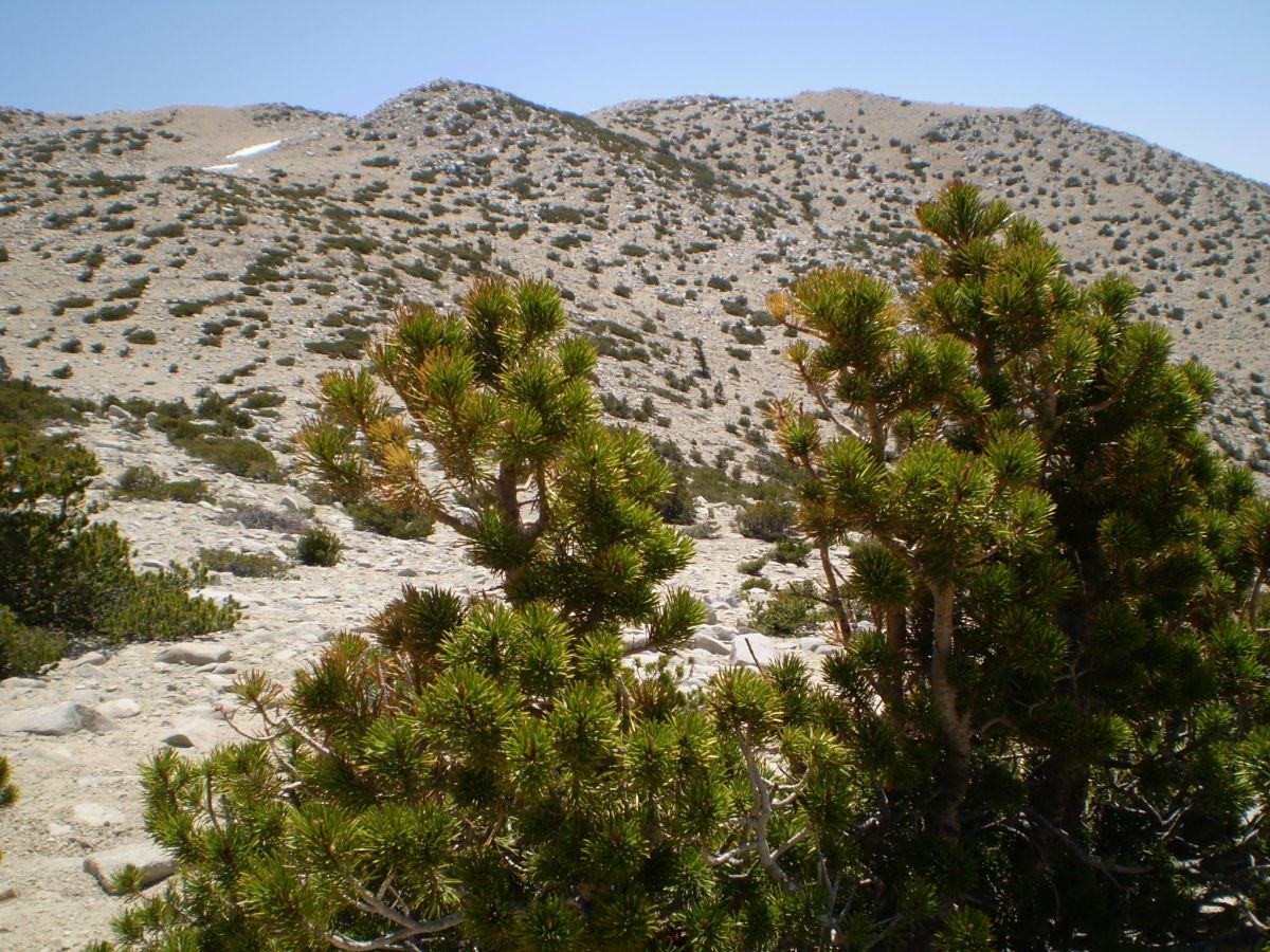 The summit ridge of San Gorgonio from the Vivian Creek Trail.