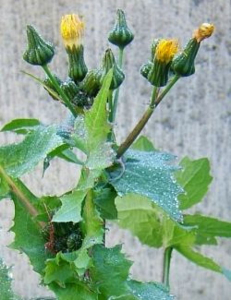 Notice how the sow thistle has many flower buds sprouting from one stalk.
