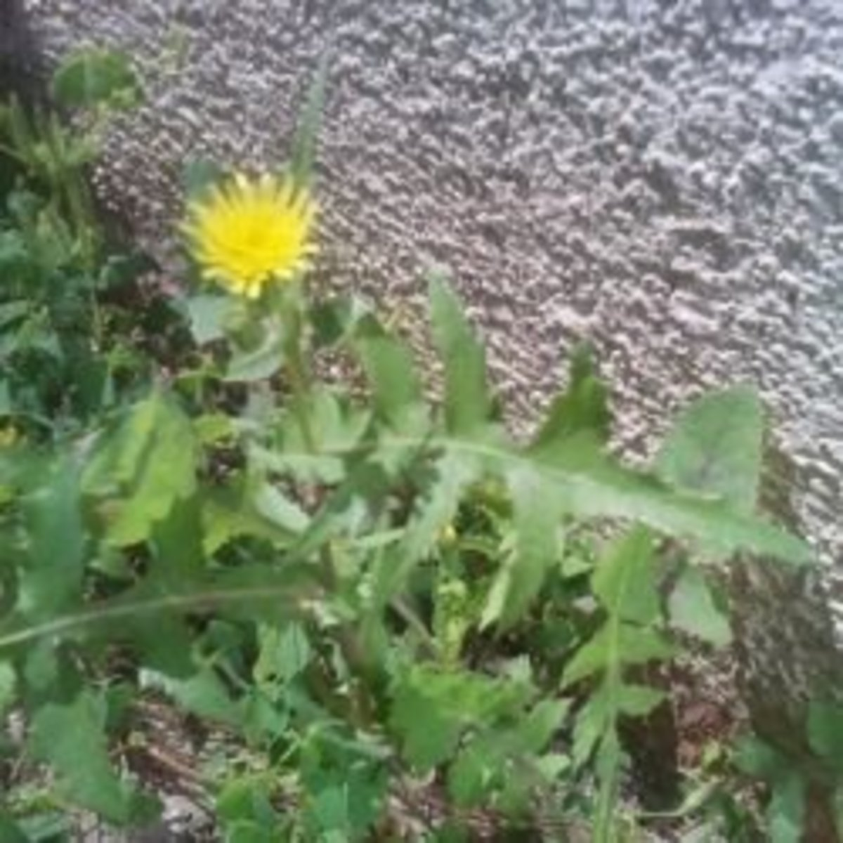 Sow thistles - A nutritious edible weed