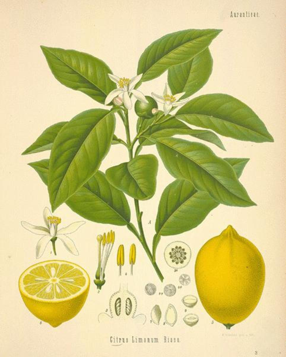 A Victorian botanical drawing of the lemon tree, fruit, and flowers.