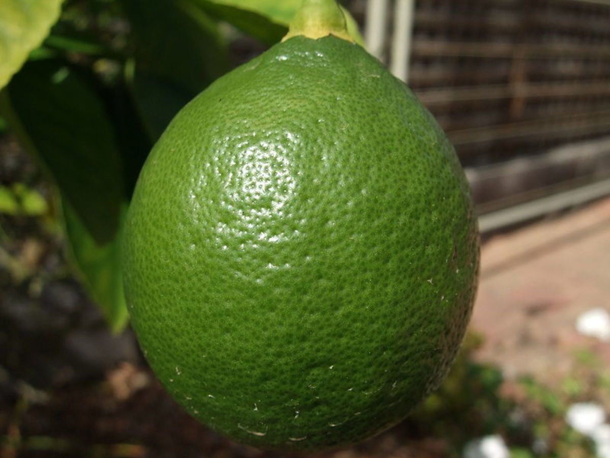An unripe lemon still on the tree. This image is in the public domain.