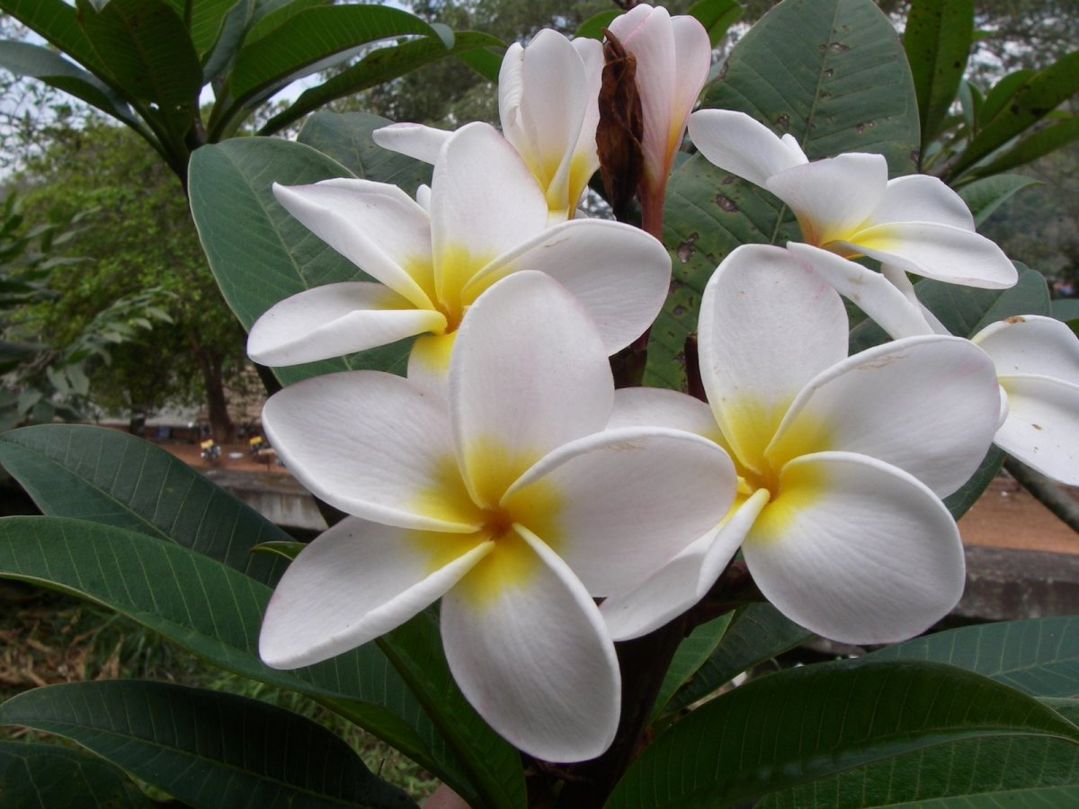The National Flower of Laos