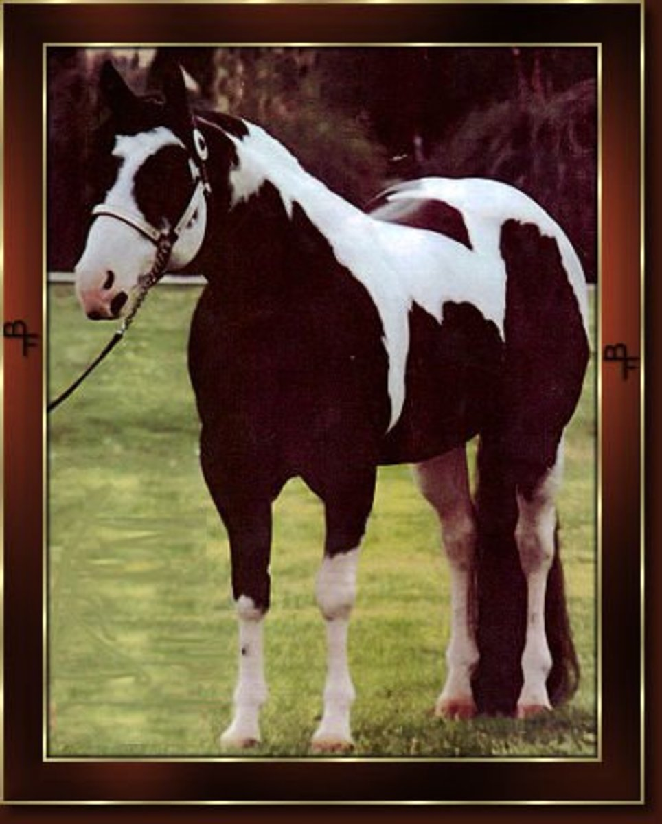 Leo San Cita, excellent performer as well as producing peformance sire.  Carries both tobiano and overo genes making him a high color producer.
