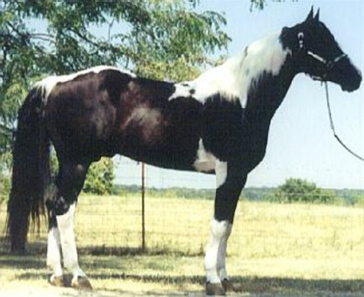 QT Poco Streke, World Champion reining horse and sire, excellent broodmare sire.