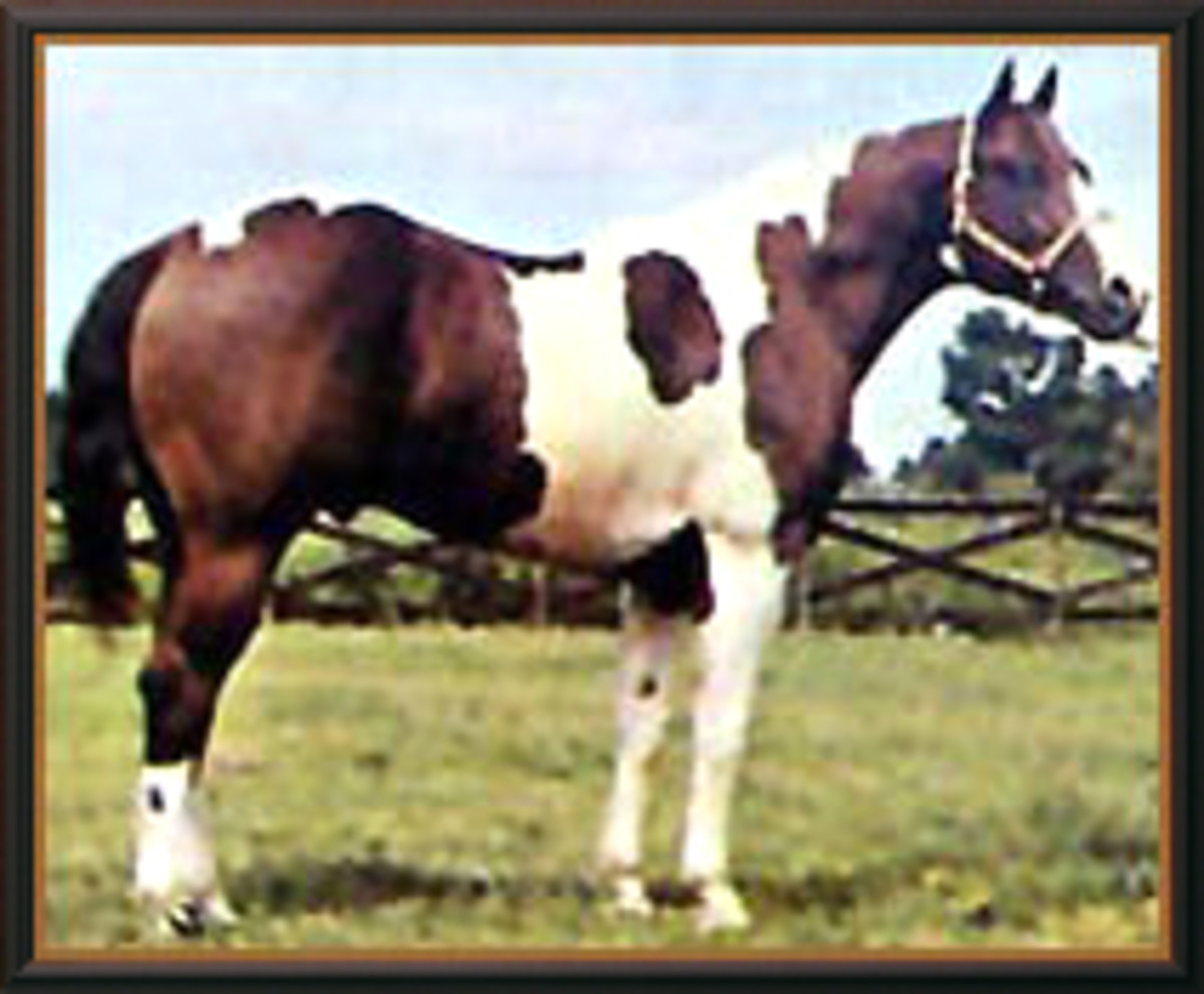 Q Ton Eagle, in the pedigree of many successful performing paint horses.