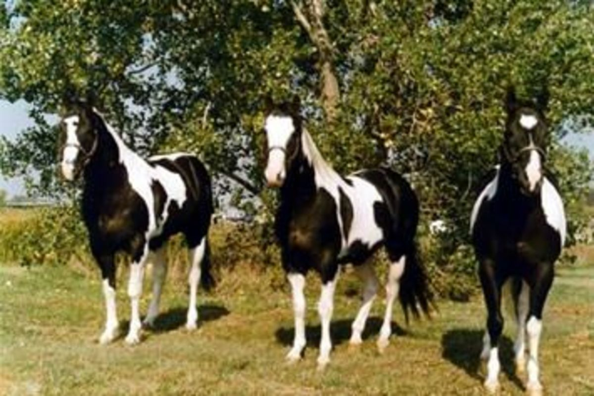 Ris Key Business,two time APHA champion (middle) with his two most successful sons, RR Ris Key Masterpiece and Strait From Texas.