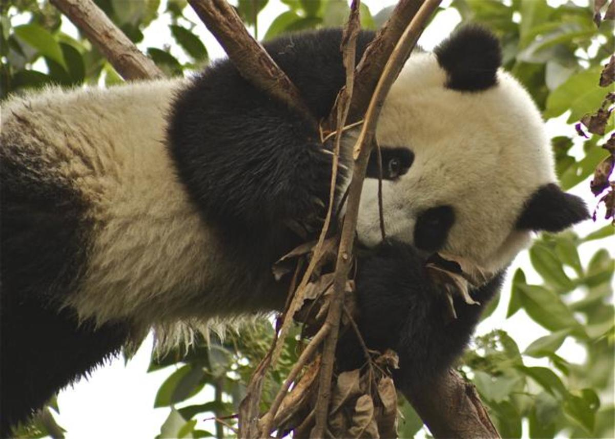 What can you do to help save Giant Pandas?