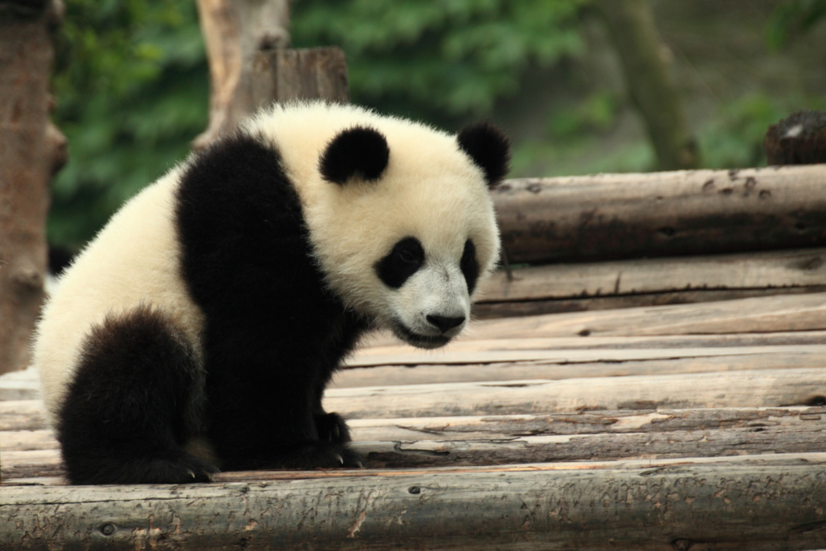 Save the Giant Pandas!