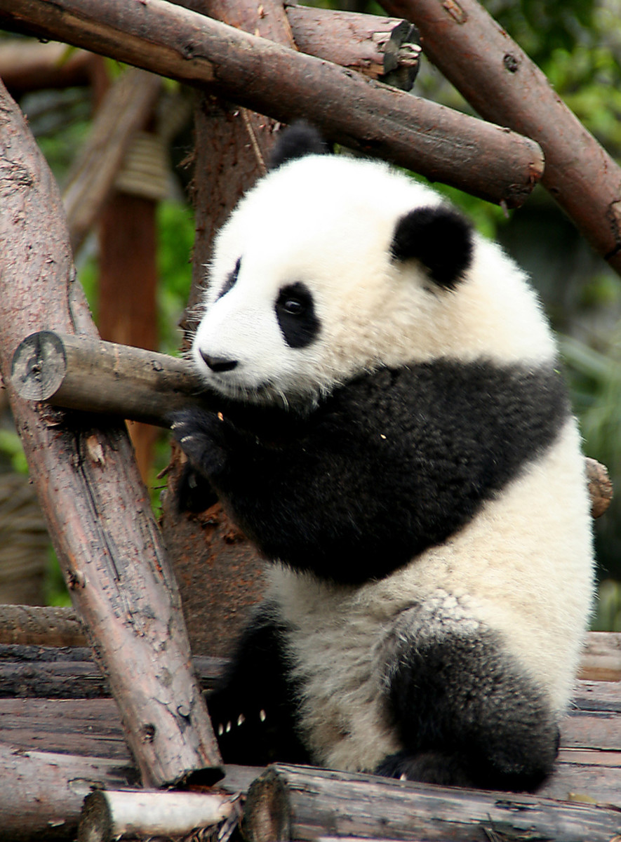 Giant pandas are endangered