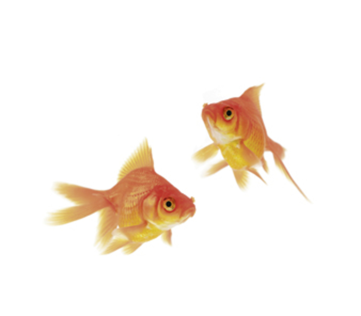 Gold Fish for removal of Bad Energy from environment