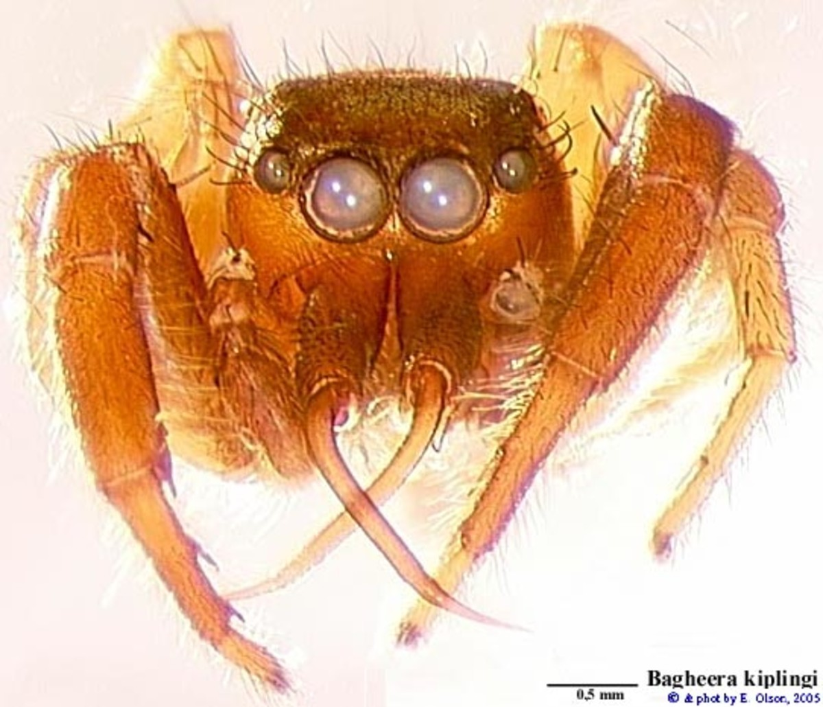 The Bagheera - Source - http://salticidae.org/salticid/diagnost/bagheer/kip-olph.htm