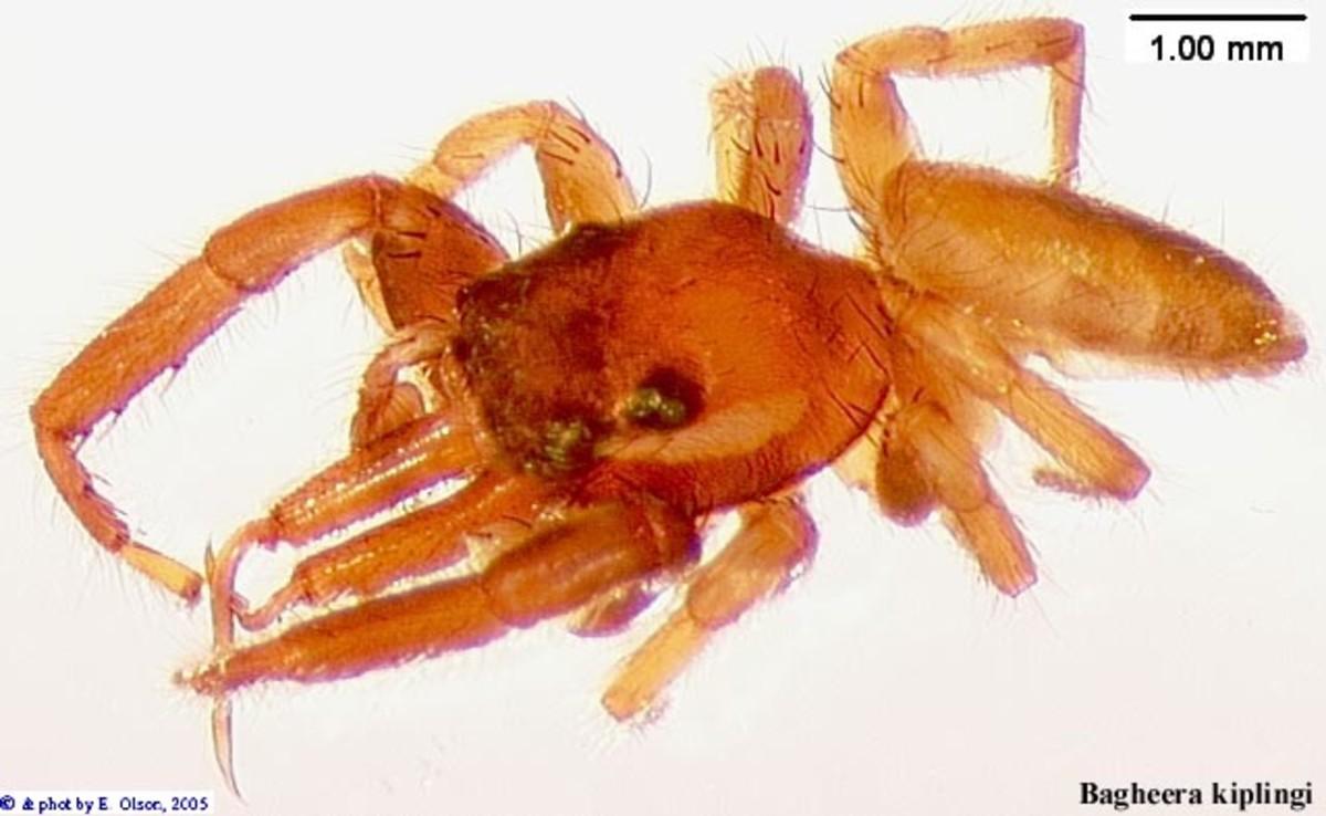 Bagheera Kiplingi - The Vegetarian Spider