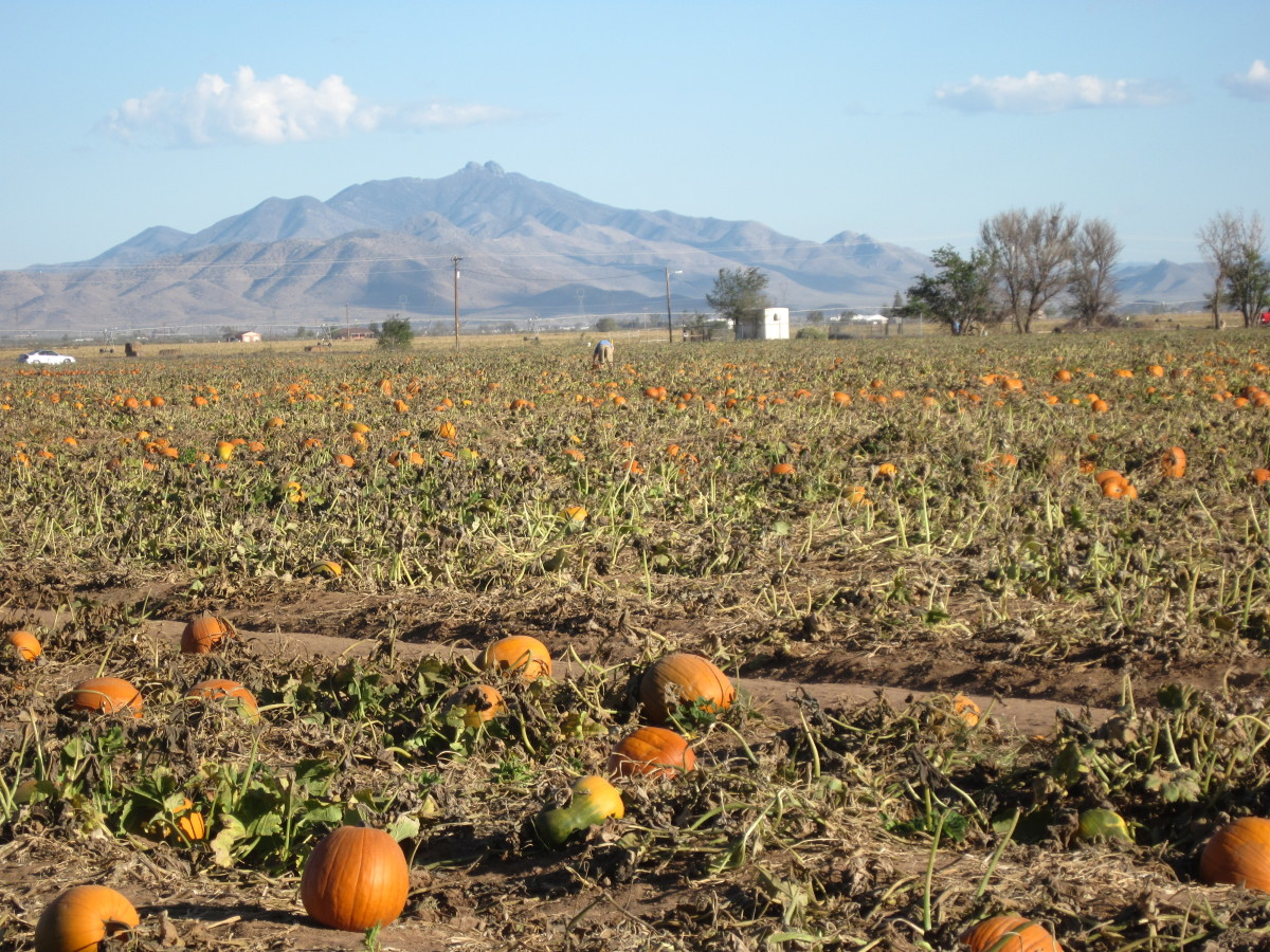 Pumpkins growing in a southern Arizona pumpkin patch