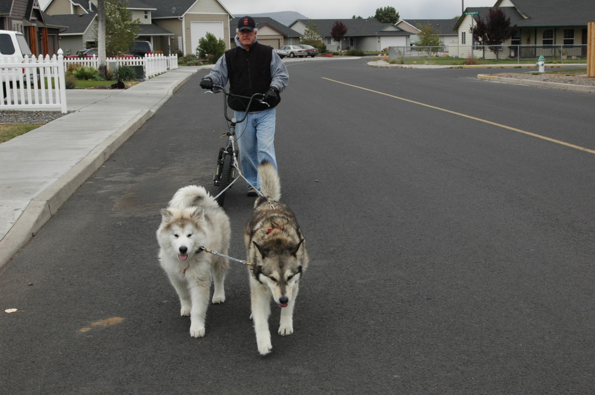 How To Teach Malamutes To Pull A Scooter