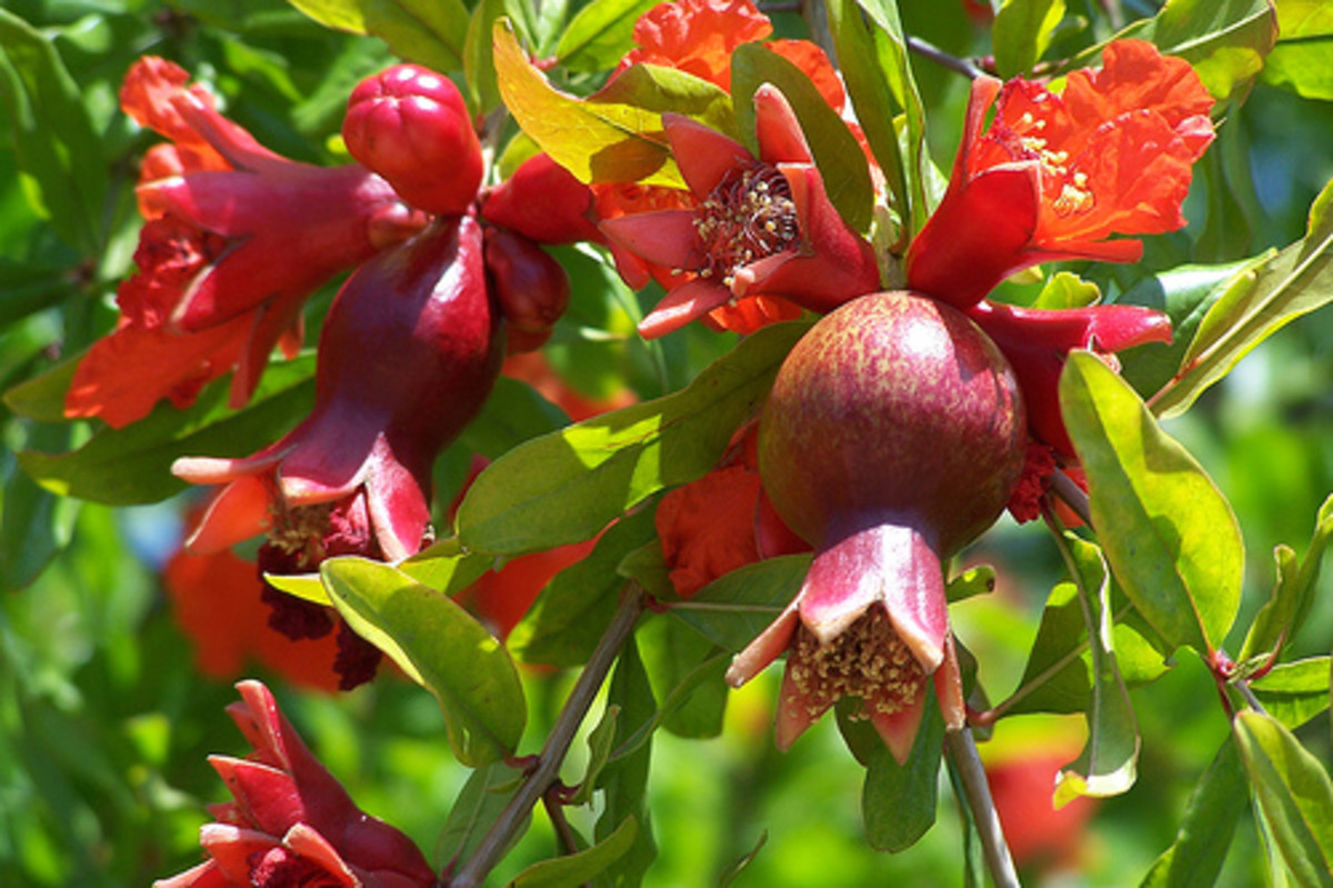 The pomegranate has beautiful orangey-red flowers