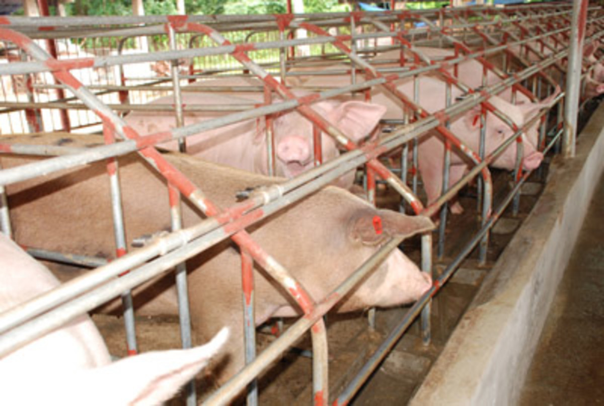 Raising Livestock in the Philippines