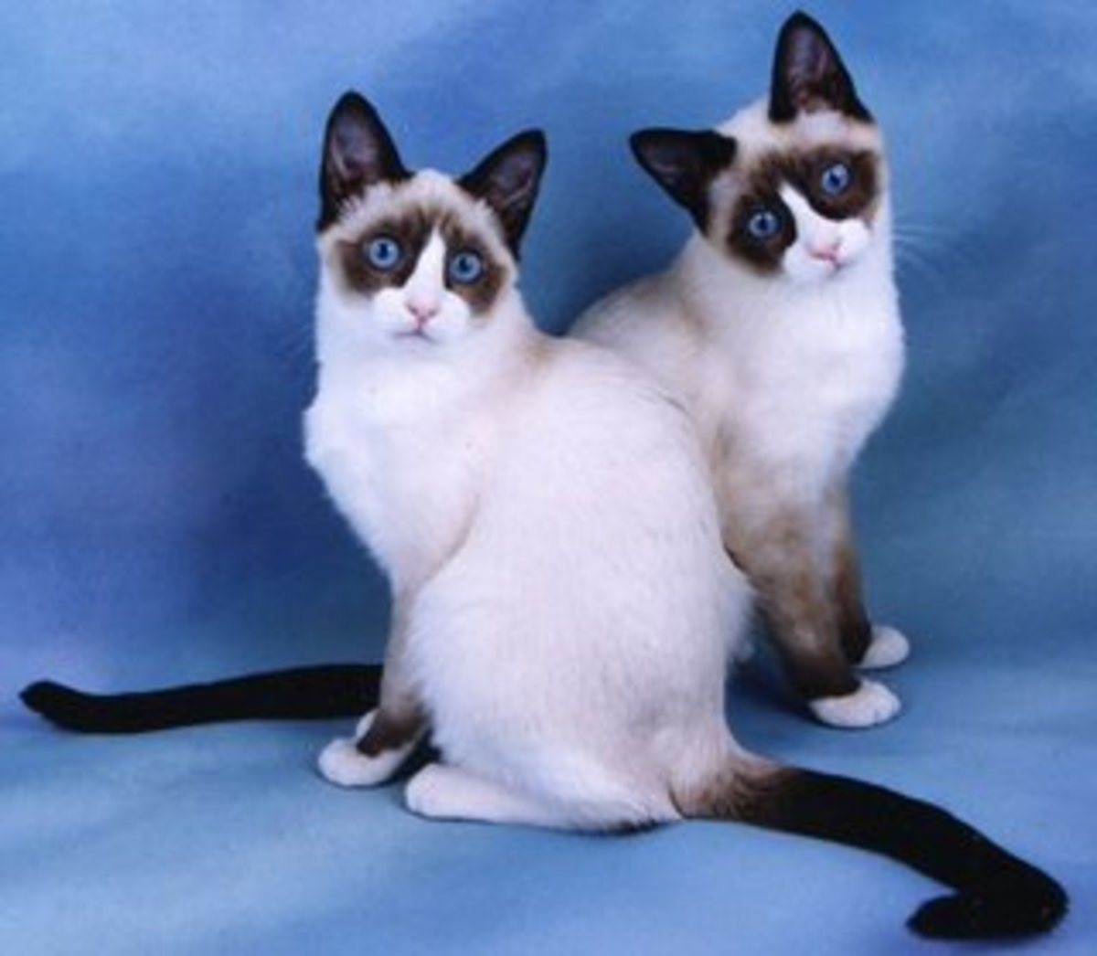 the-snowshoe-cat