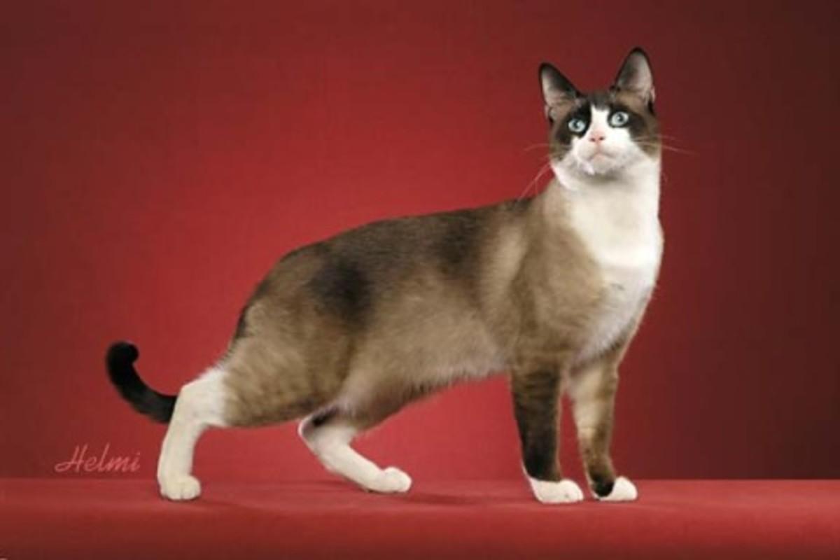 The Snowshoe Cat