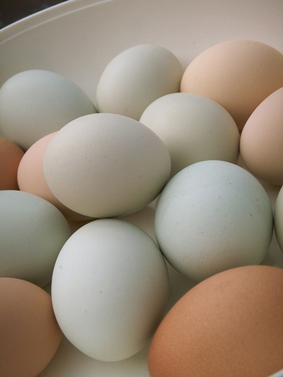 A mix of chicken egg colors