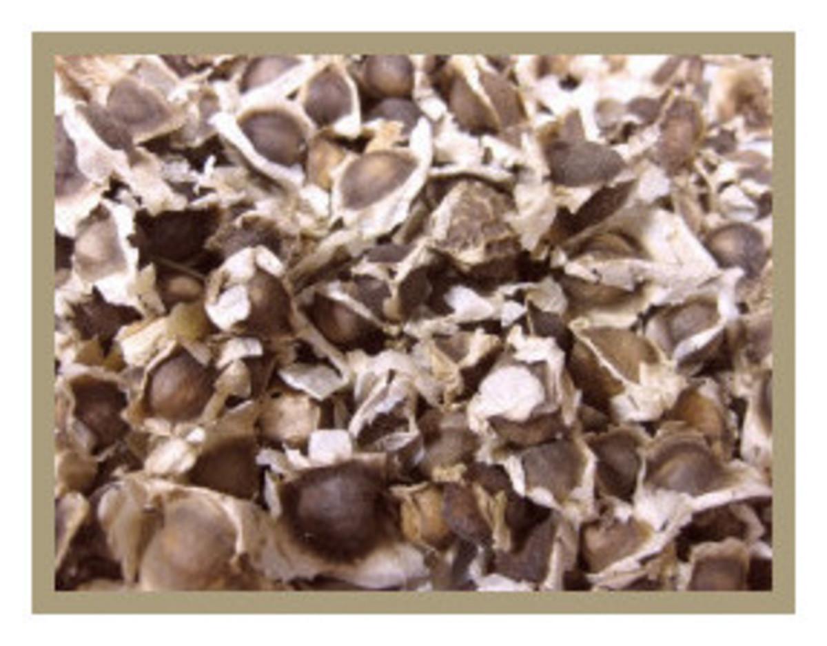 Moringa Oleifera seeds. They are quite different from Moringa Stenopetala seeds.