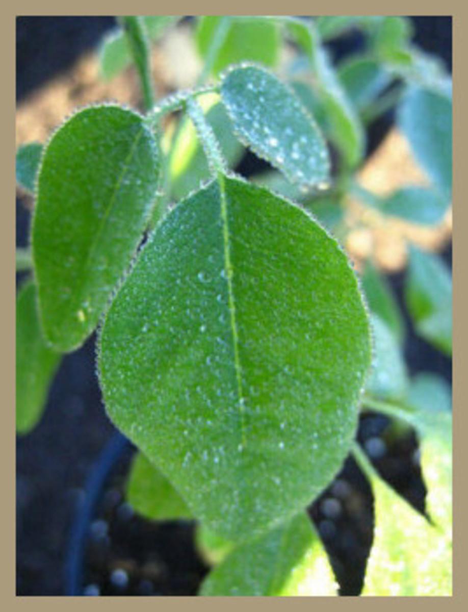 Close Up of Moringa Stenopetala Leaf