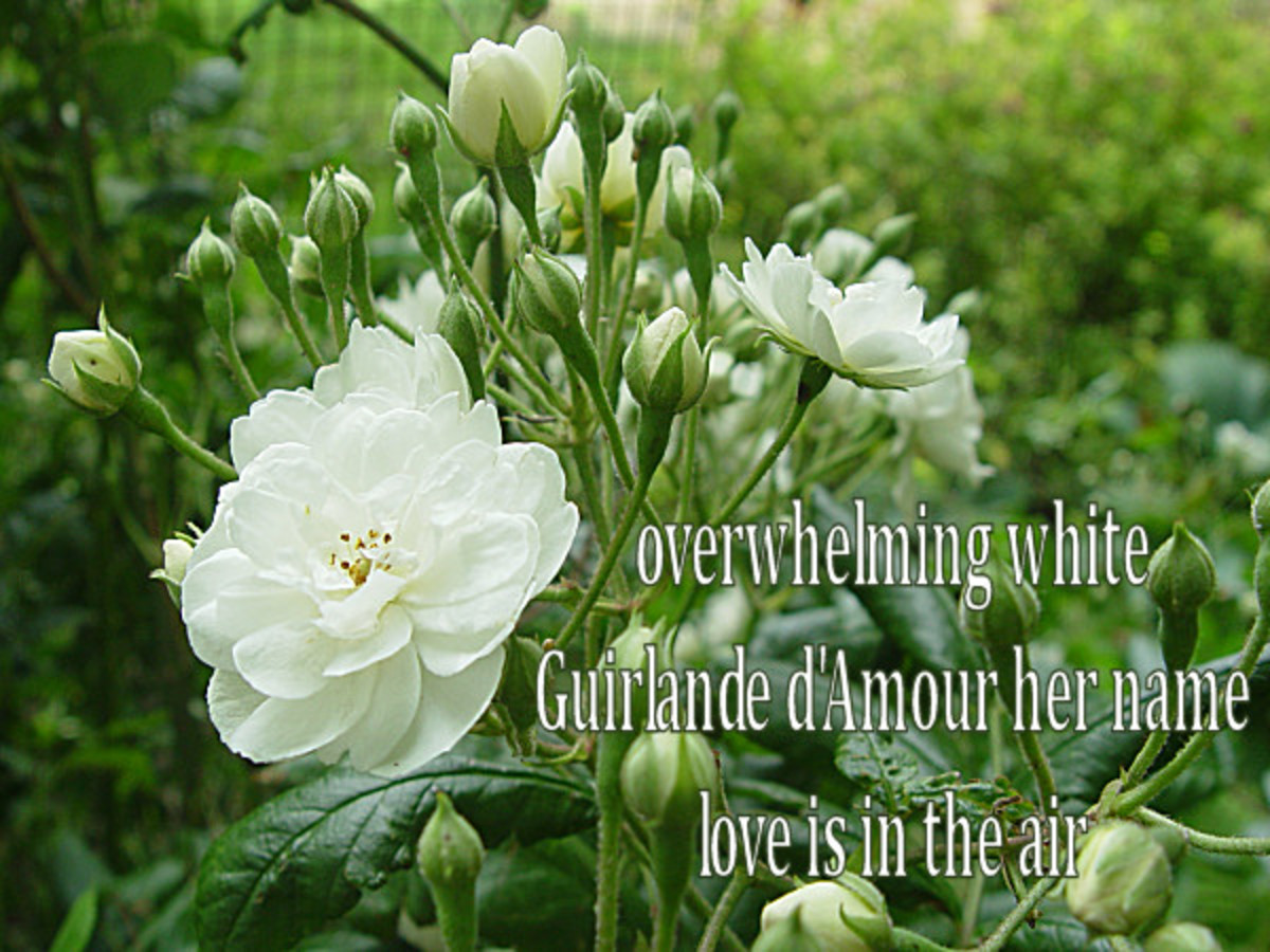 Haiku - Guirlande d'Amour