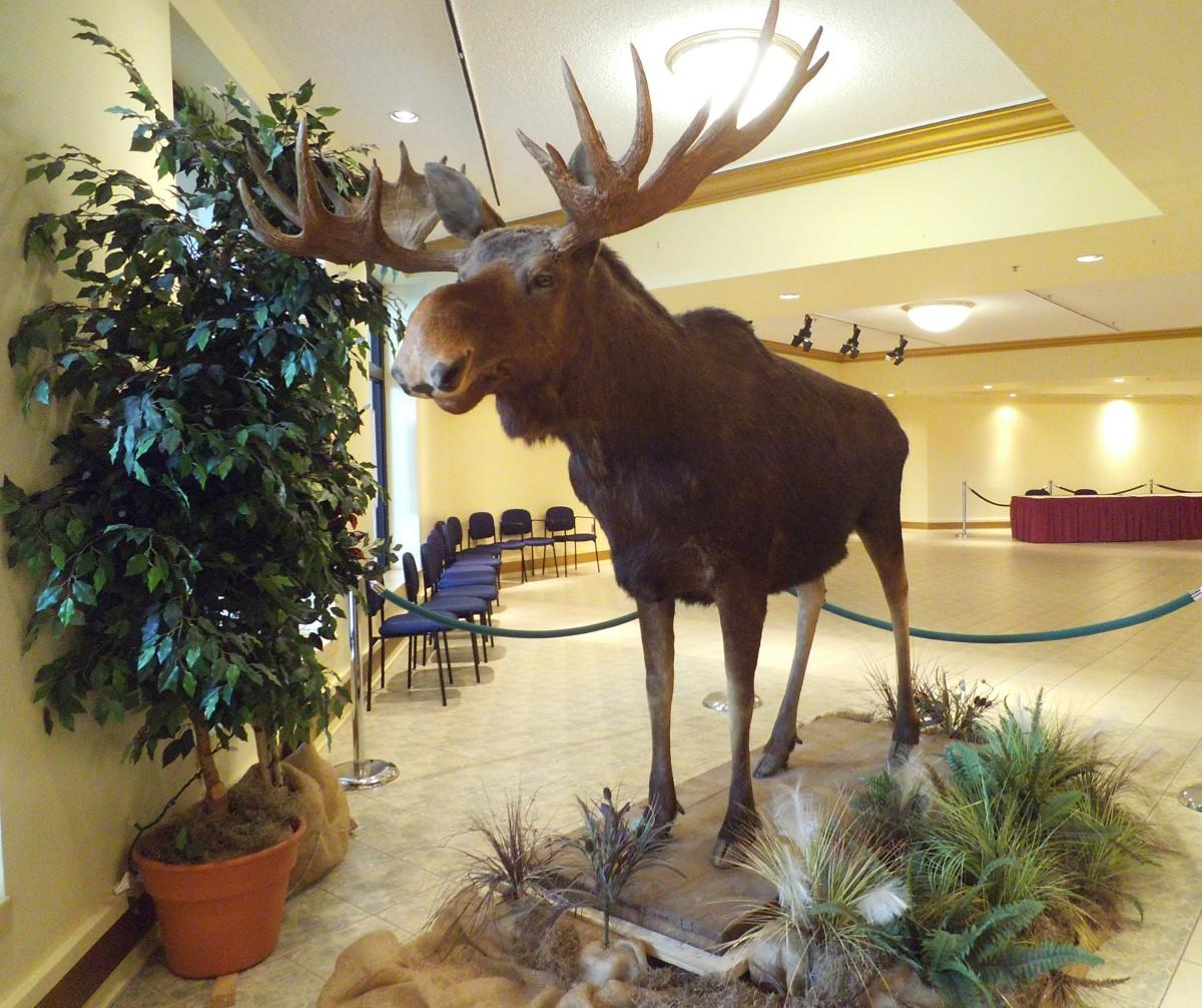 A magnificent moose in a museum in New Brunshwick, Canada.